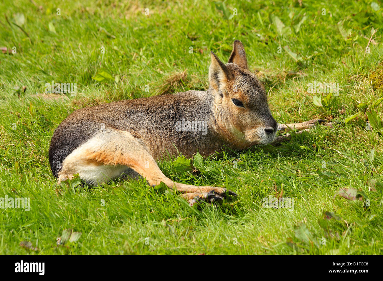 Patagonian Mara (Dolichotis patagonum), mara genus, a herbivore found in Argentina, in captivity in the United Kingdom - Stock Image