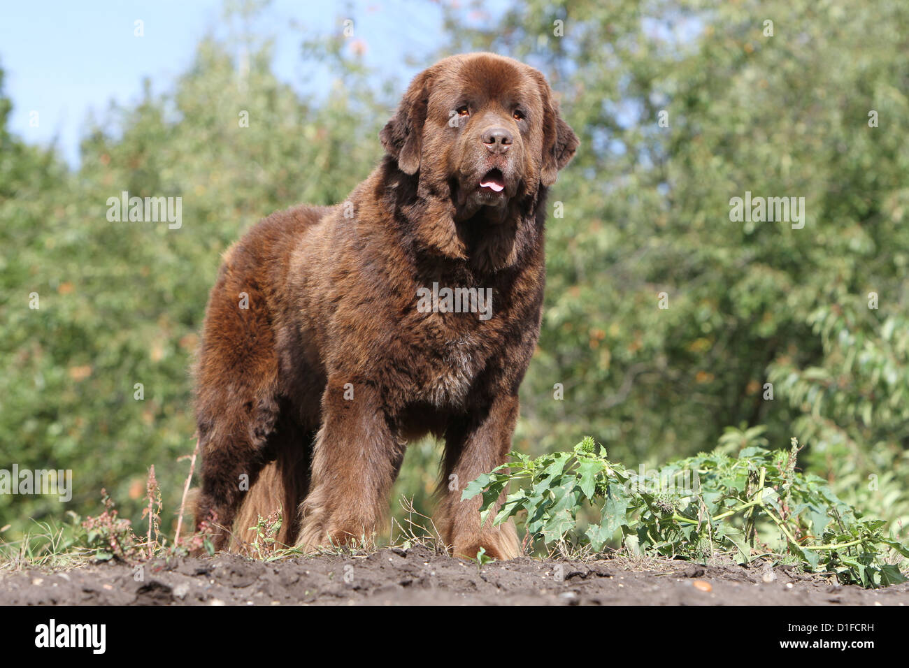 Dog Newfoundland /  adult standing in a meadow - Stock Image