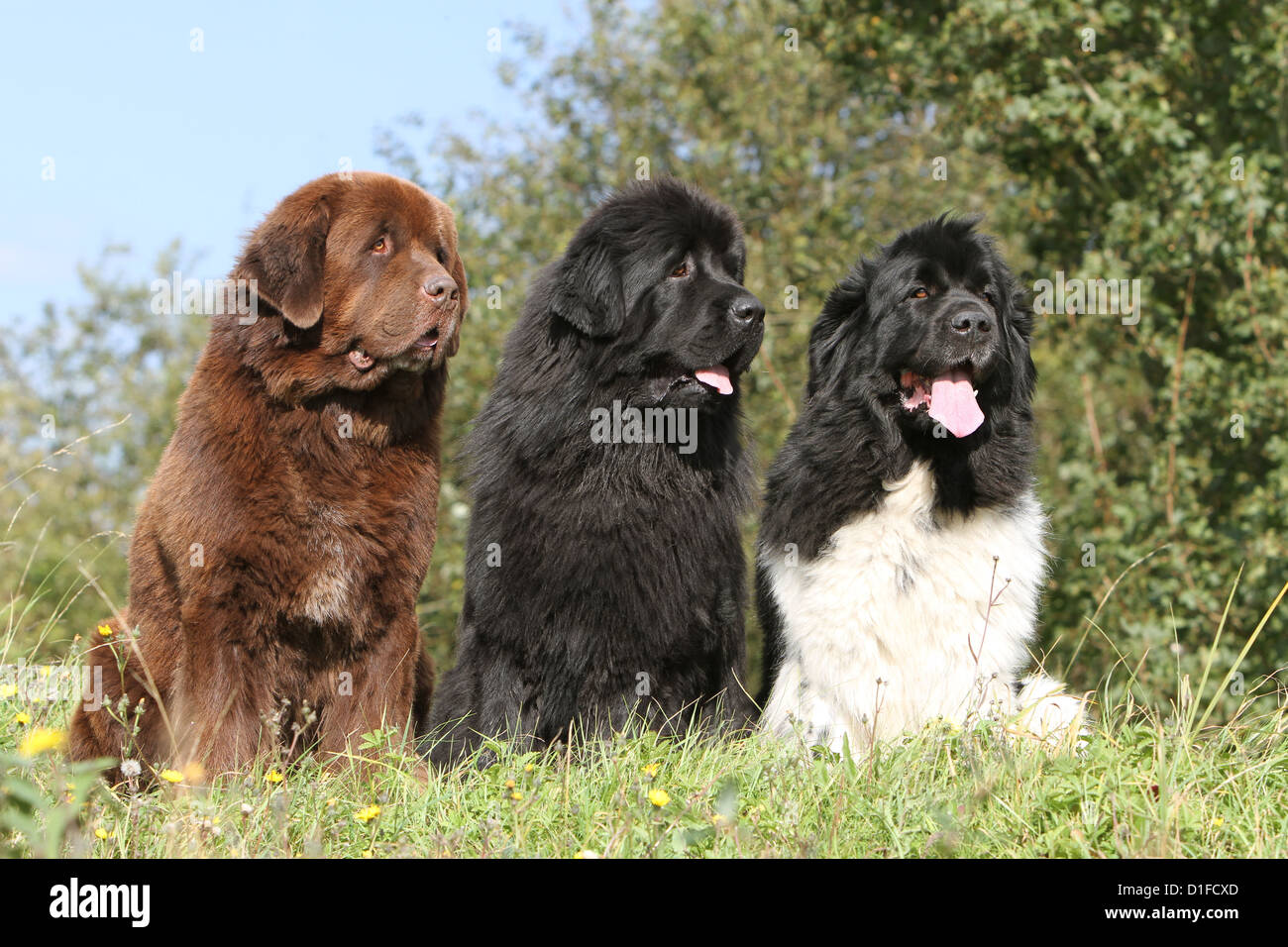 Dog Three Newfoundland Black And White Brown Black Sitting Stock