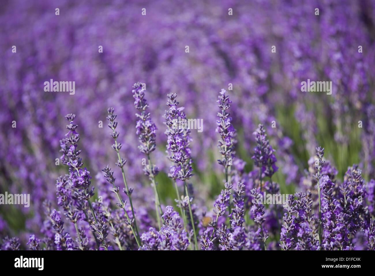 Lavender field, Lordington Lavender Farm, Lordington, West Sussex, England, United Kingdom, Europe - Stock Image