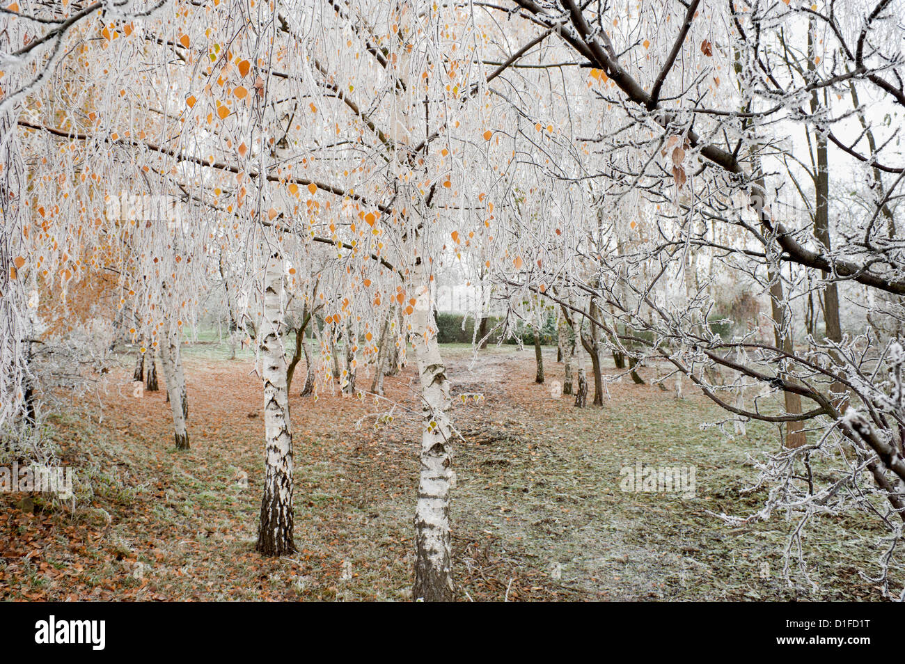 Frost-covered birch trees, town of Cakovice, Prague, Czech Republic, Europe Stock Photo