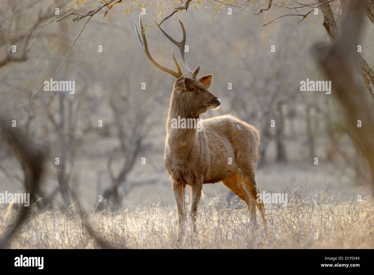 Sambar Deer scratching his antlers at tree. - Stock Image