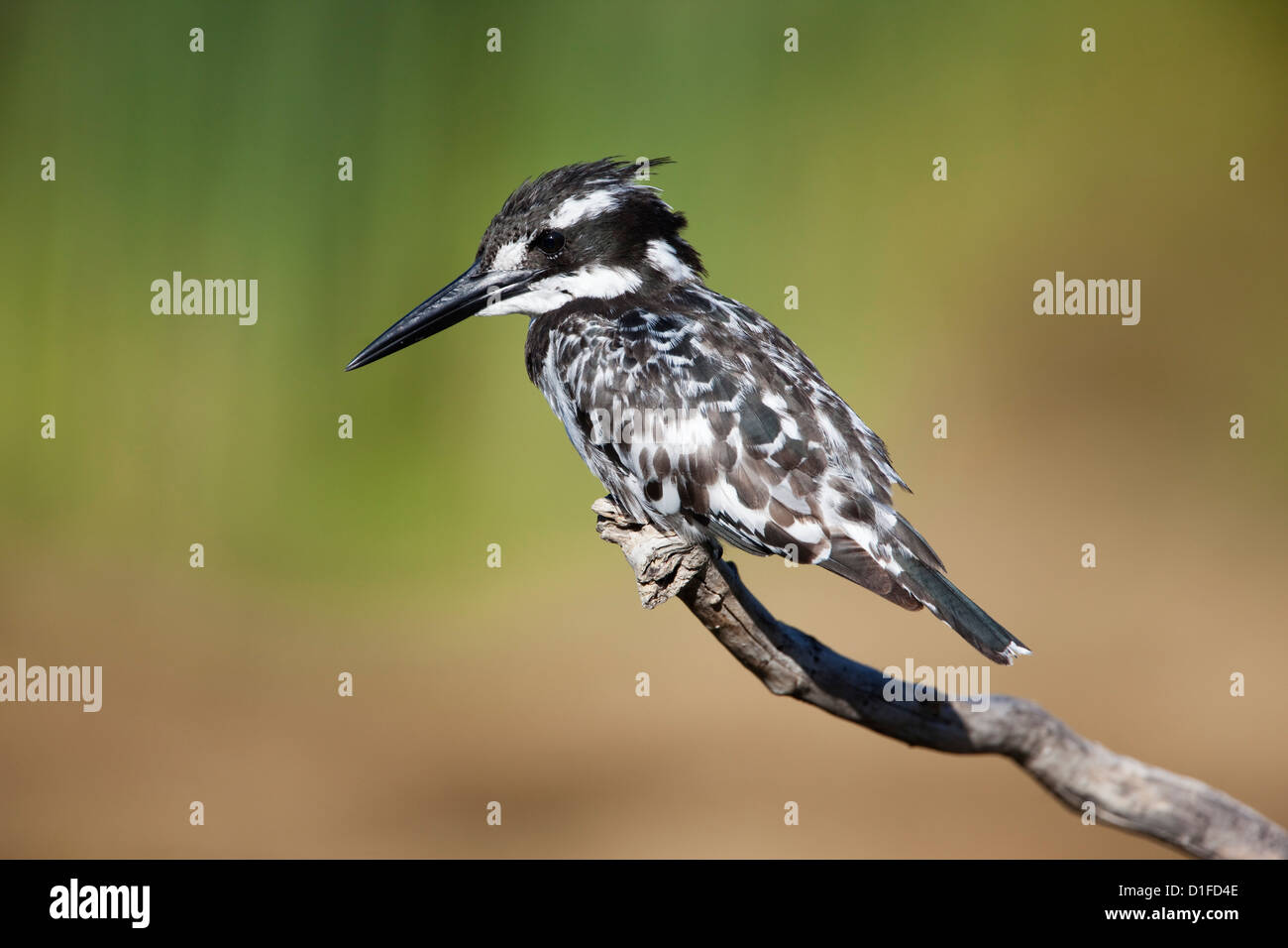 Pied kingfisher (Ceryle rudis), Intaka Island, Cape Town, South Africa, Africa - Stock Image