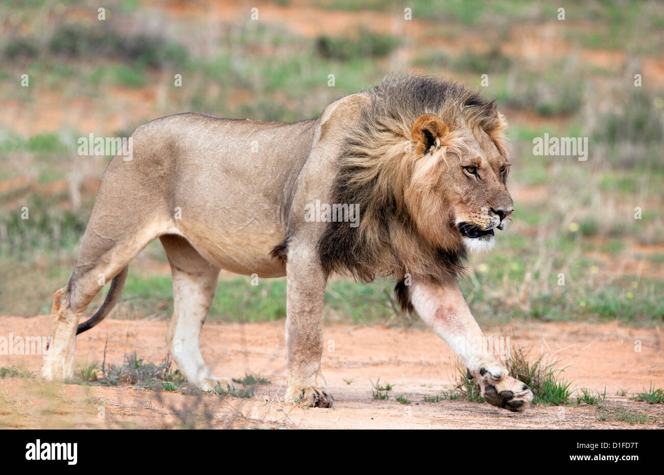 Lion (Panthera leo), Kgalagadi Transfrontier Park, Northern Cape, South Africa, Africa - Stock Image