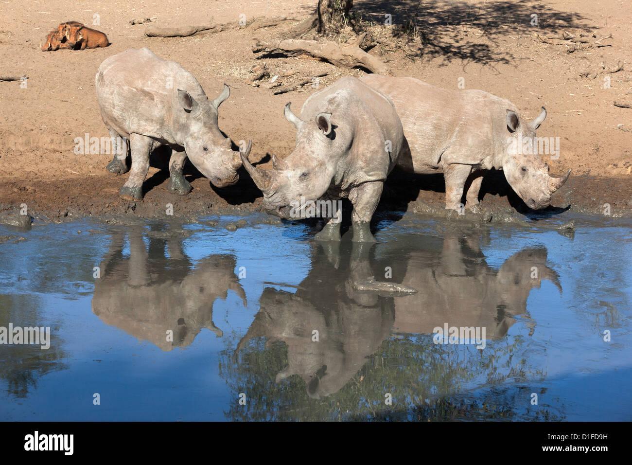 White rhinos (Ceratotherium simum), Mkhuze game reserve, Kwazulu Natal, South Africa, Africa - Stock Image
