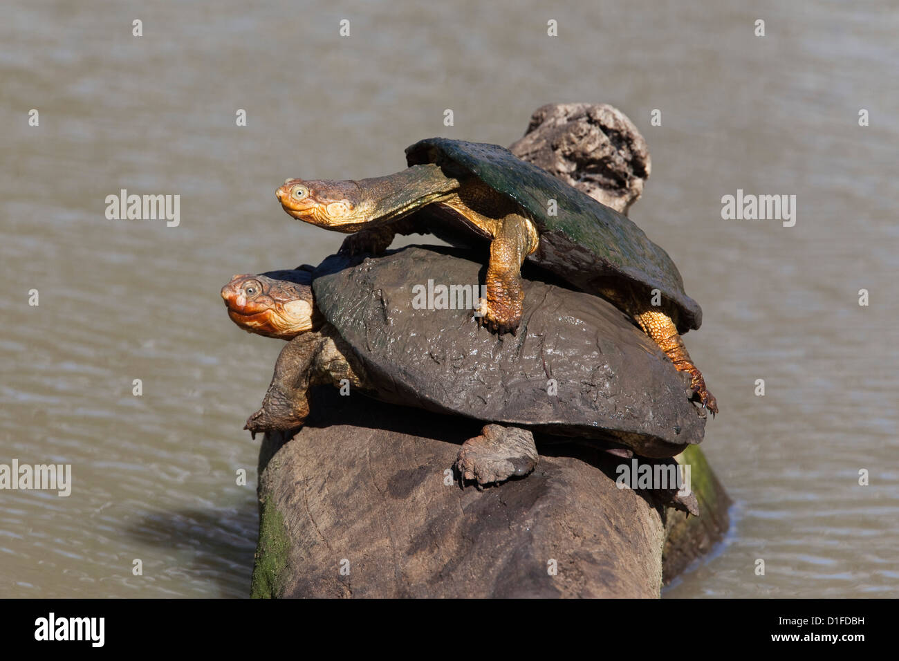 Marsh terrapin (African helmeted turtle) (Pelomedusa subrufa) stacked up on log, Mkhuze game reserve, South Africa, - Stock Image