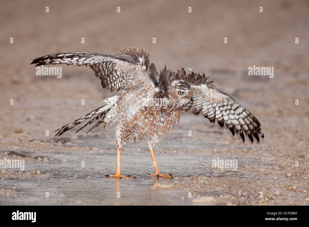 Immature Southern Pale Chanting Goshawk (Melierax canorus) bathing after rain, Kgalagadi Transfrontier Park, South - Stock Image
