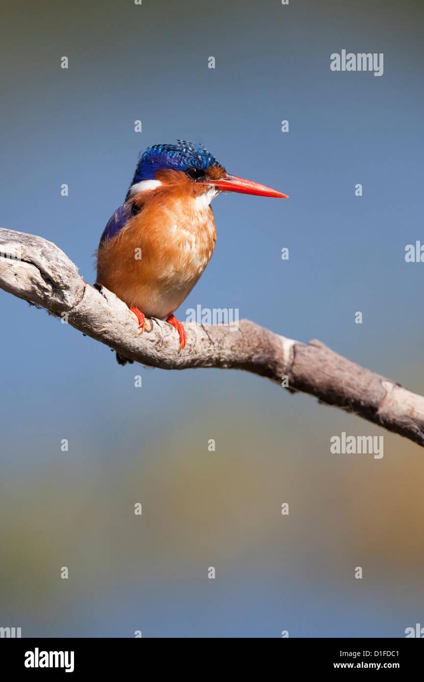 Malachite kingfisher (Alcedo cristata), Intaka Island, Cape Town, South Africa, Africa - Stock Image
