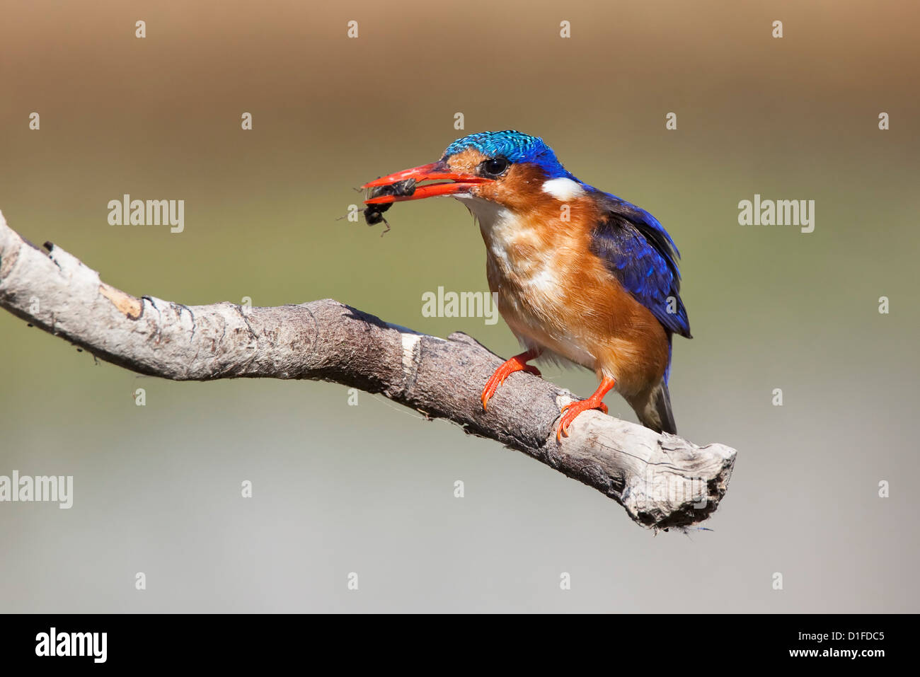 Malachite kingfisher (Alcedo cristata) with beetle, Intaka Island, Cape Town, South Africa, Africa - Stock Image