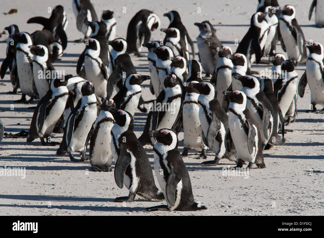 African penguins (Spheniscus demersus), Table Mountain National Park, Cape Town, South Africa, Africa - Stock Image