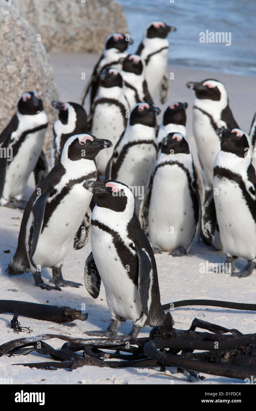 African penguins (Spheniscus demersus), Table Mountain National Park, Cape Town, South Africa, Africa Stock Photo