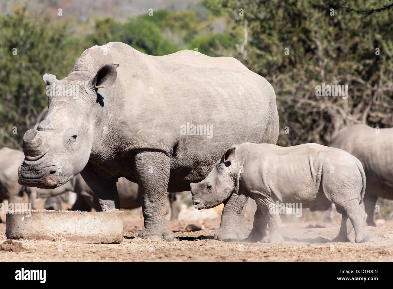 Dehorned white rhino (Ceratotherium simum) with calf, Mauricedale game ranch, Mpumalanga, South Africa, Africa - Stock Image