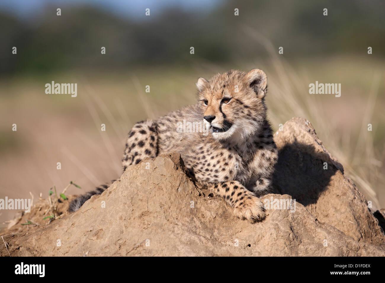 Cheetah (Acinonyx jubatus) cub, Phinda private game reserve, Kwazulu Natal, South Africa, Africa - Stock Image