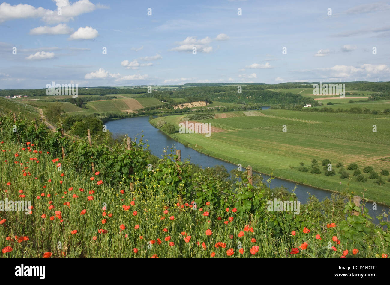 Poppies and vineyards along the border between Luxembourg and Germany separated by the River Moselle (Mosel), Germany, - Stock Image