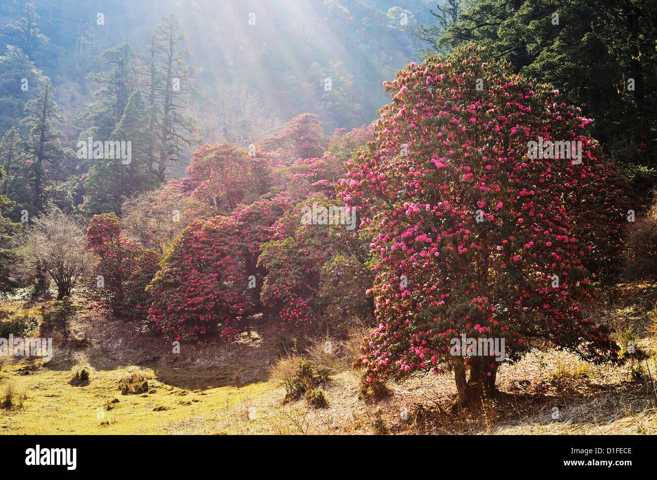 Rhododendron forest, near Titi, Annapurna Conservation Area, Dhawalagiri (Dhaulagiri), Western Region (Pashchimanchal), - Stock Image