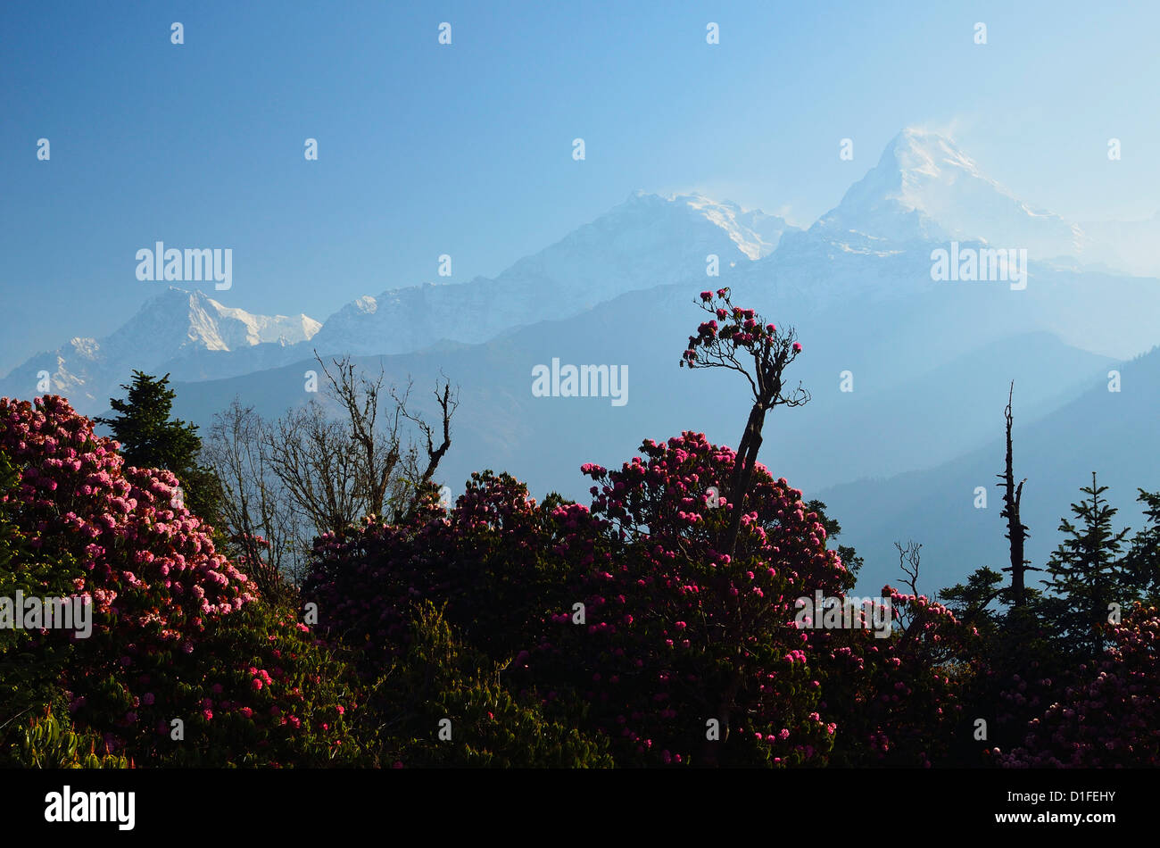 Rhododendron and Annapurna Himal seen from Poon Hill, Annapurna Conservation Area, Dhawalagiri, Pashchimanchal, - Stock Image