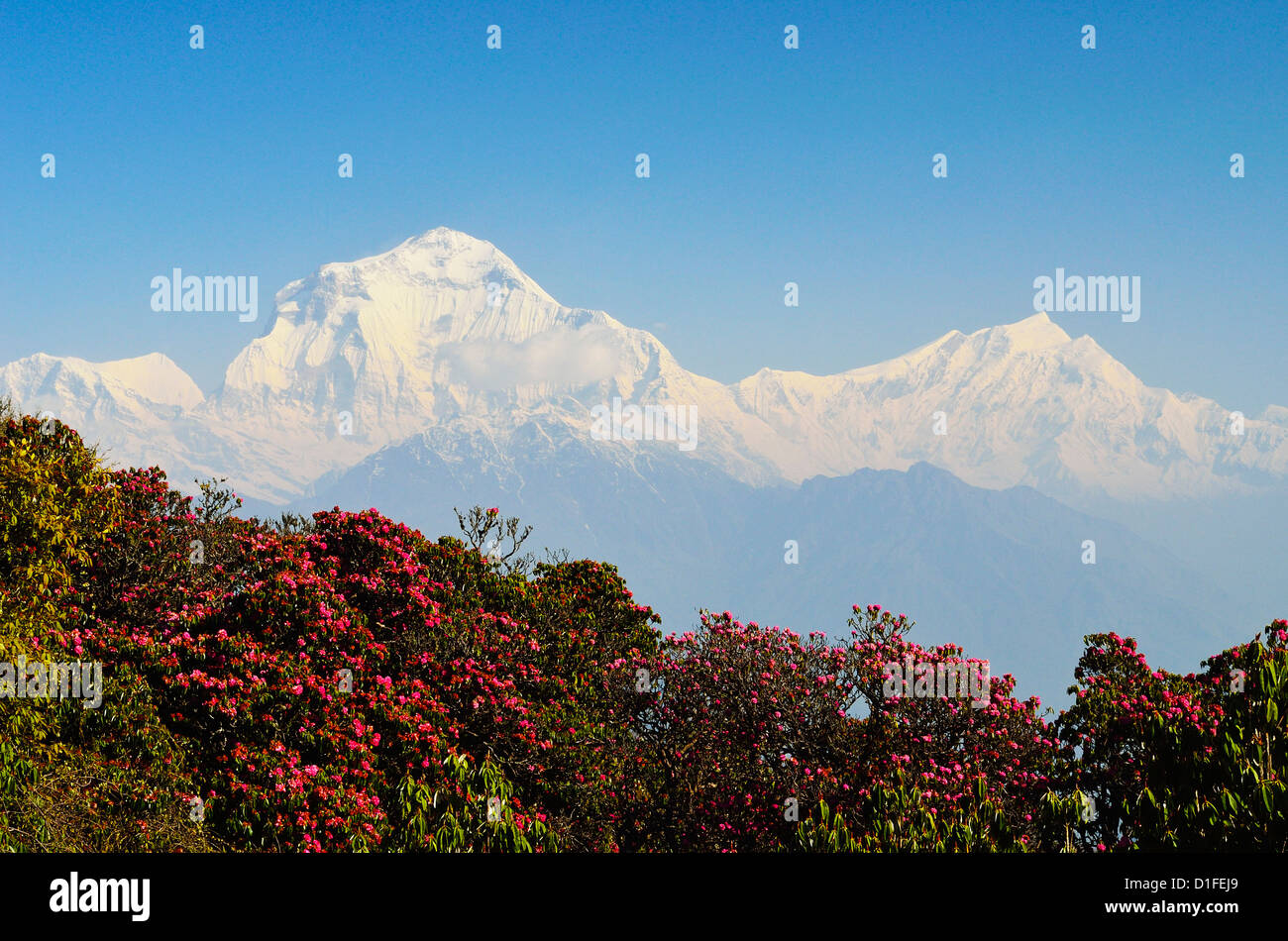 Rhododendron and Dhaulagiri Himal seen from Poon Hill, Annapurna Conservation Area, Dhawalagiri, Pashchimanchal, - Stock Image