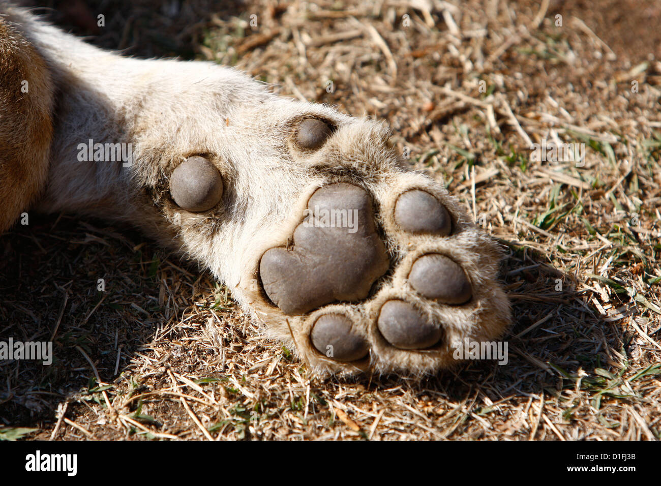 03.07.2009  Lion pew in South Africa Credit James Galvin - Stock Image