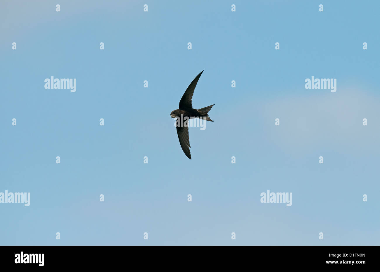 Common Swift in flight UK - Stock Image
