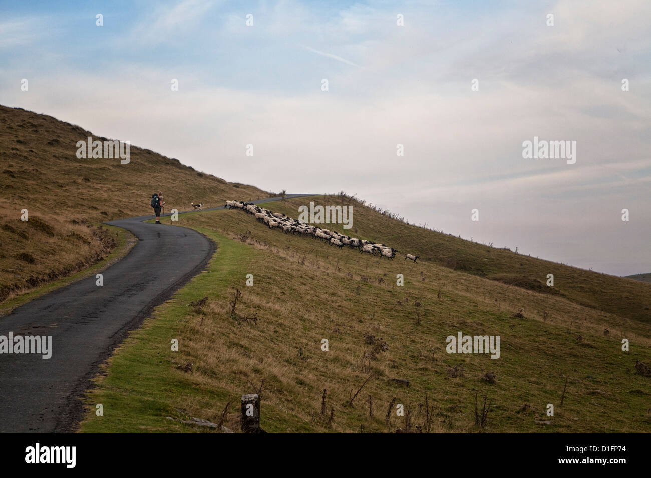 working sheep dog, herding sheep across the Camino path, near Orisson. in the Pyrenees Mountains of South France. Stock Photo