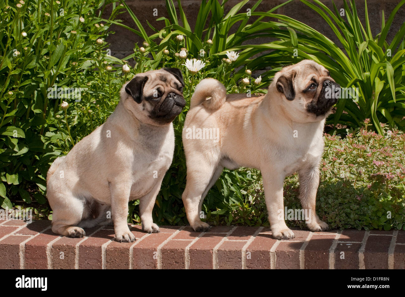 Two pugs on brick wall - Stock Image