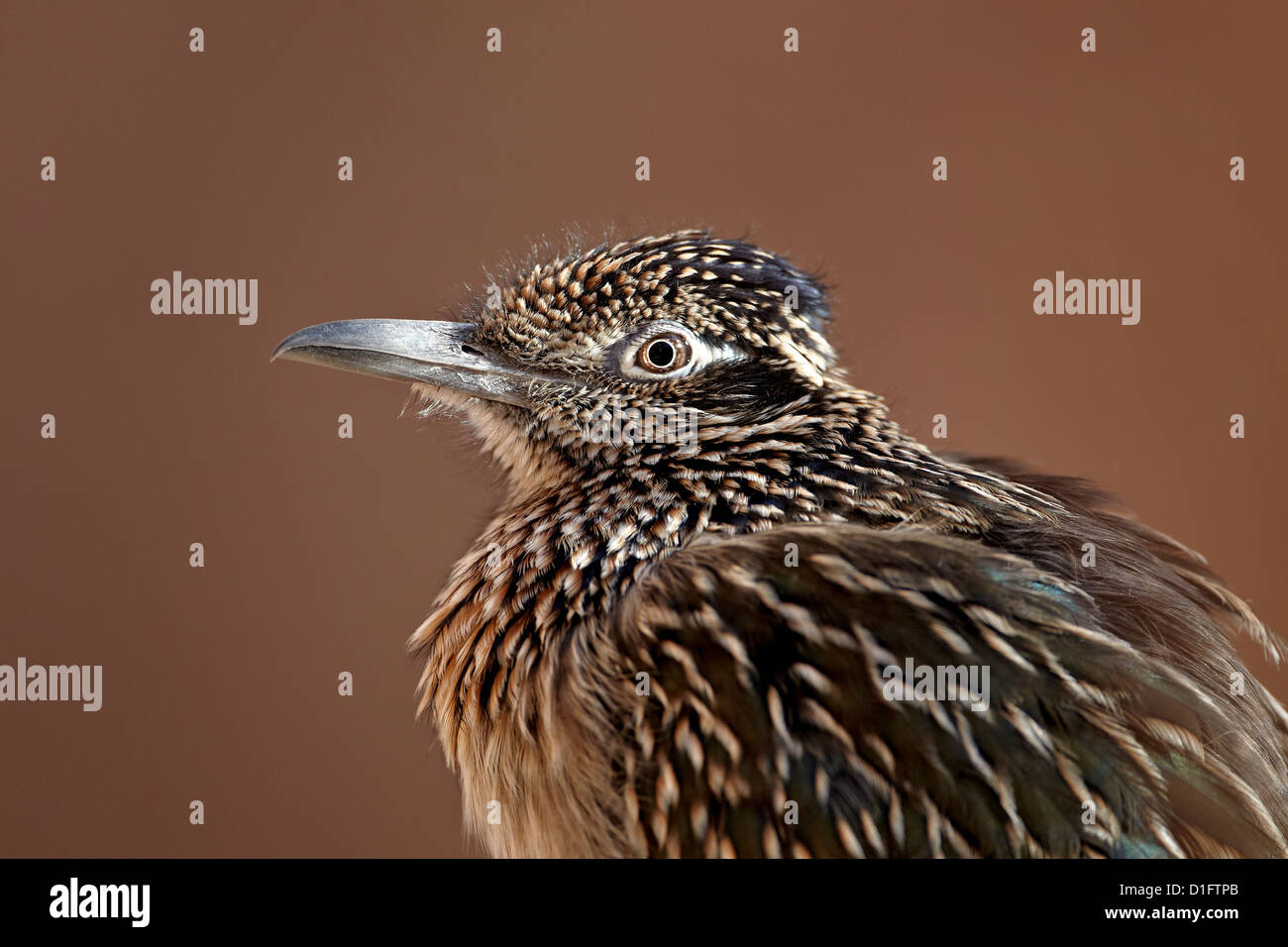 Greater roadrunner (Geococcyx californianus) in captivity, Living Desert Zoo And Gardens State Park, New Mexico, - Stock Image