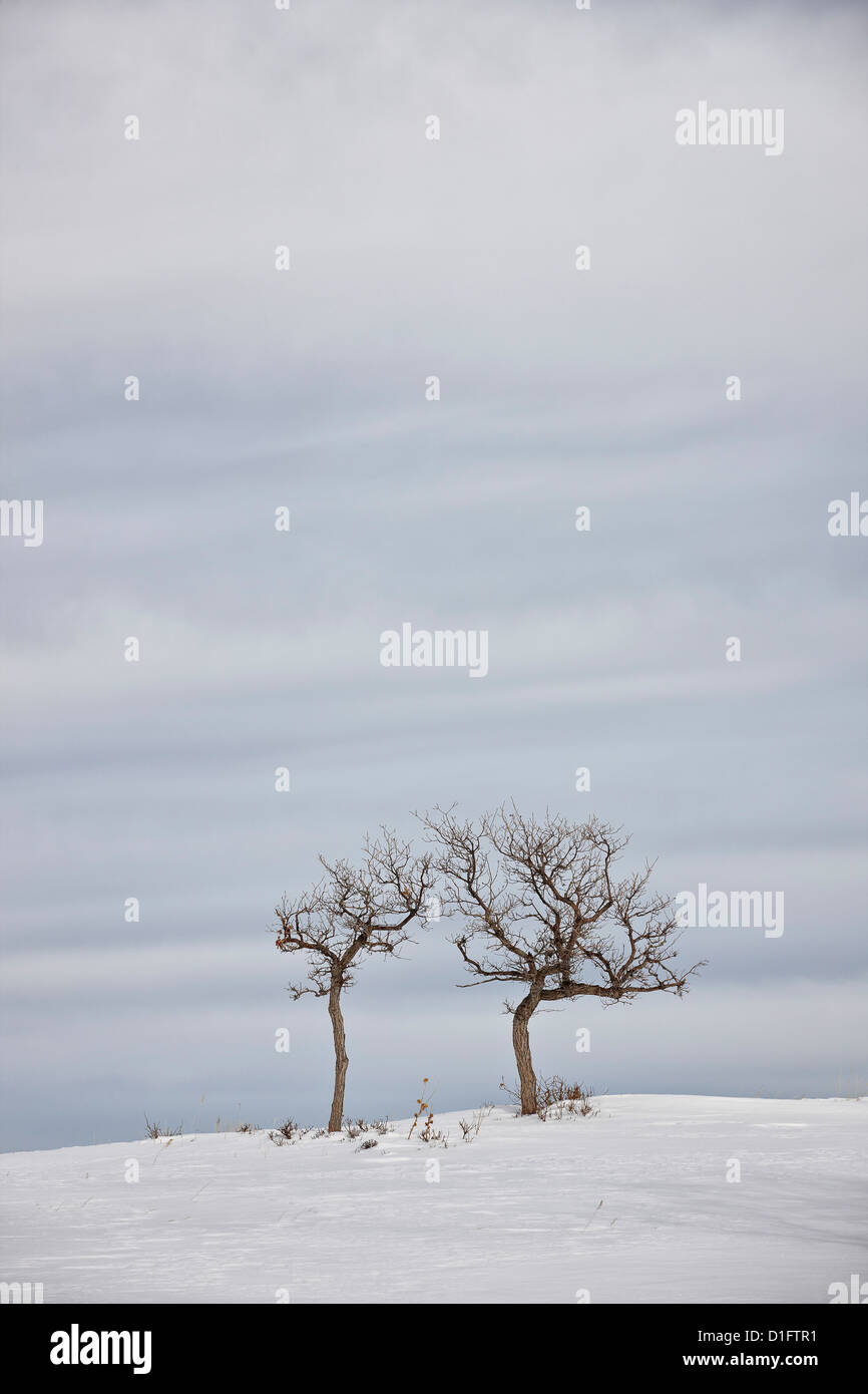 Bare trees in the snow, Uncompahgre National Forest, Colorado, United States of America, North America - Stock Image