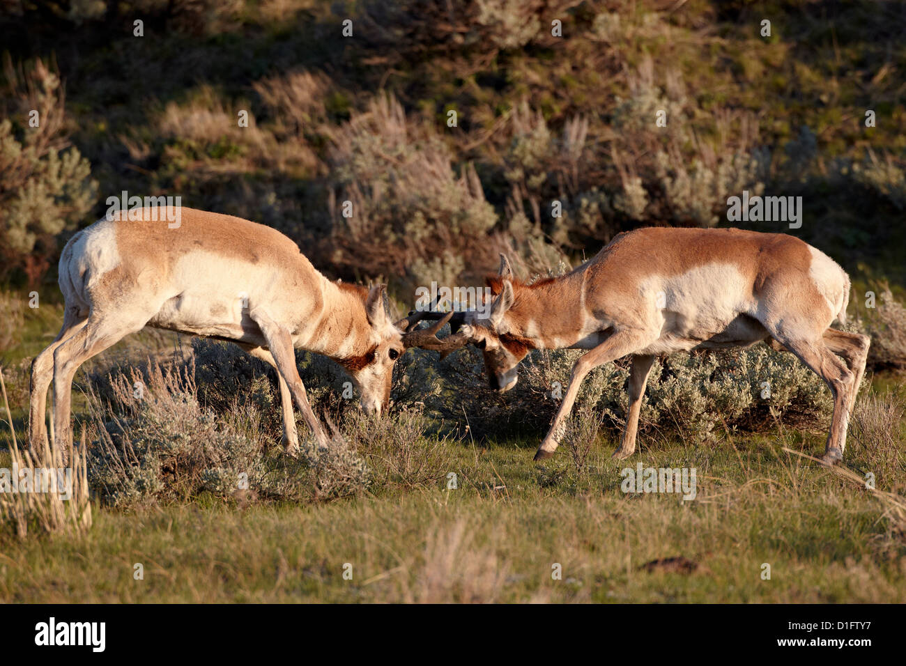 Two Pronghorn (Antilocapra americana) bucks sparring, Yellowstone National Park, Wyoming, United States of America - Stock Image