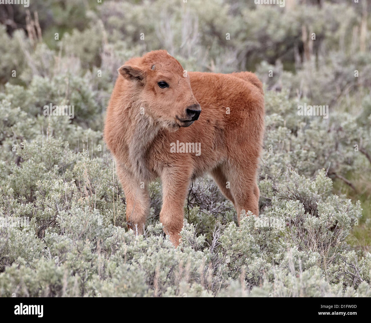 Bison (Bison bison) calf, Yellowstone National Park, Wyoming, United States of America, North America Stock Photo