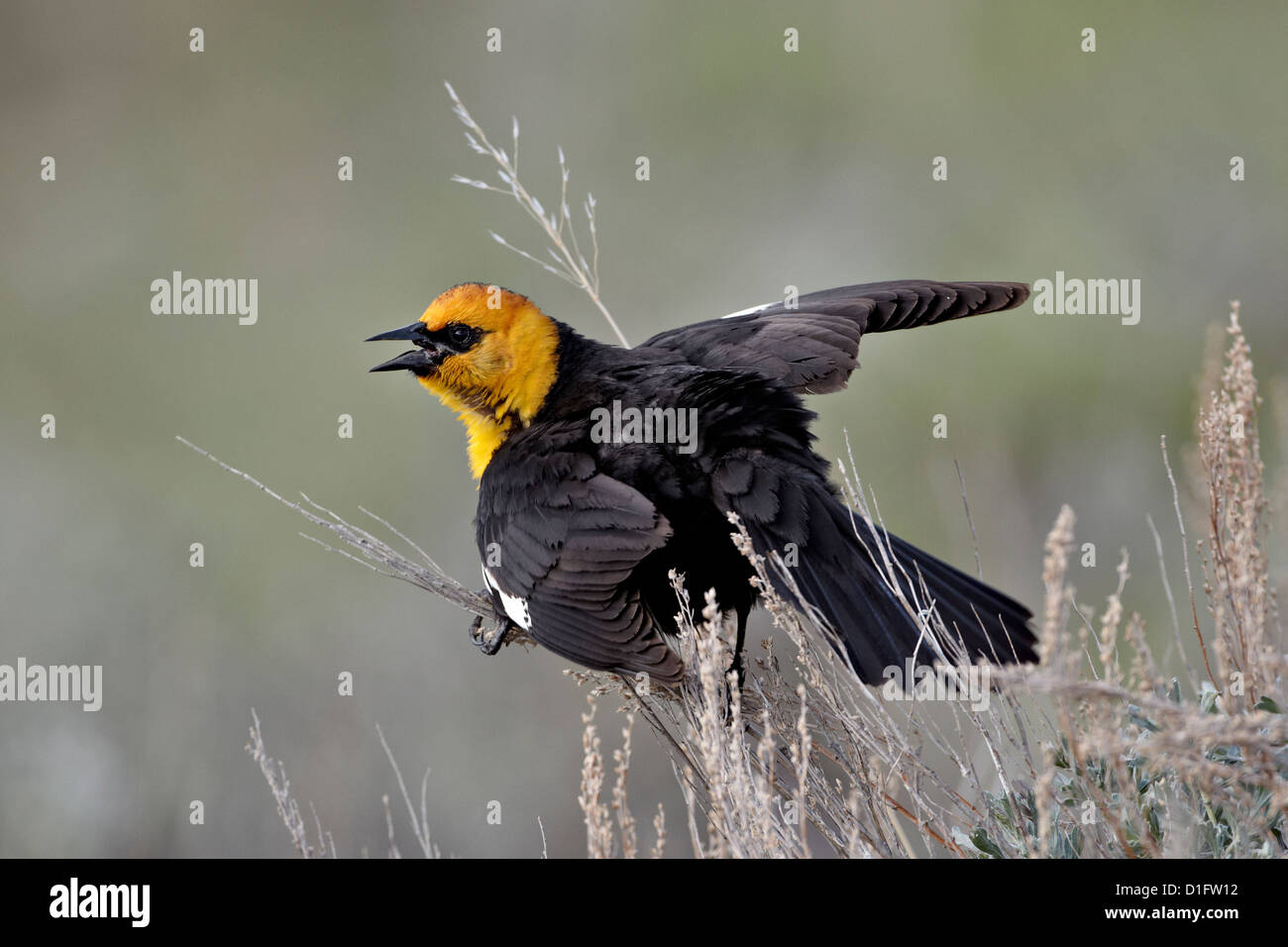 Male yellow-headed blackbird (Xanthocephalus xanthocephalus) dislaying, Yellowstone National Park, Wyoming, USA - Stock Image