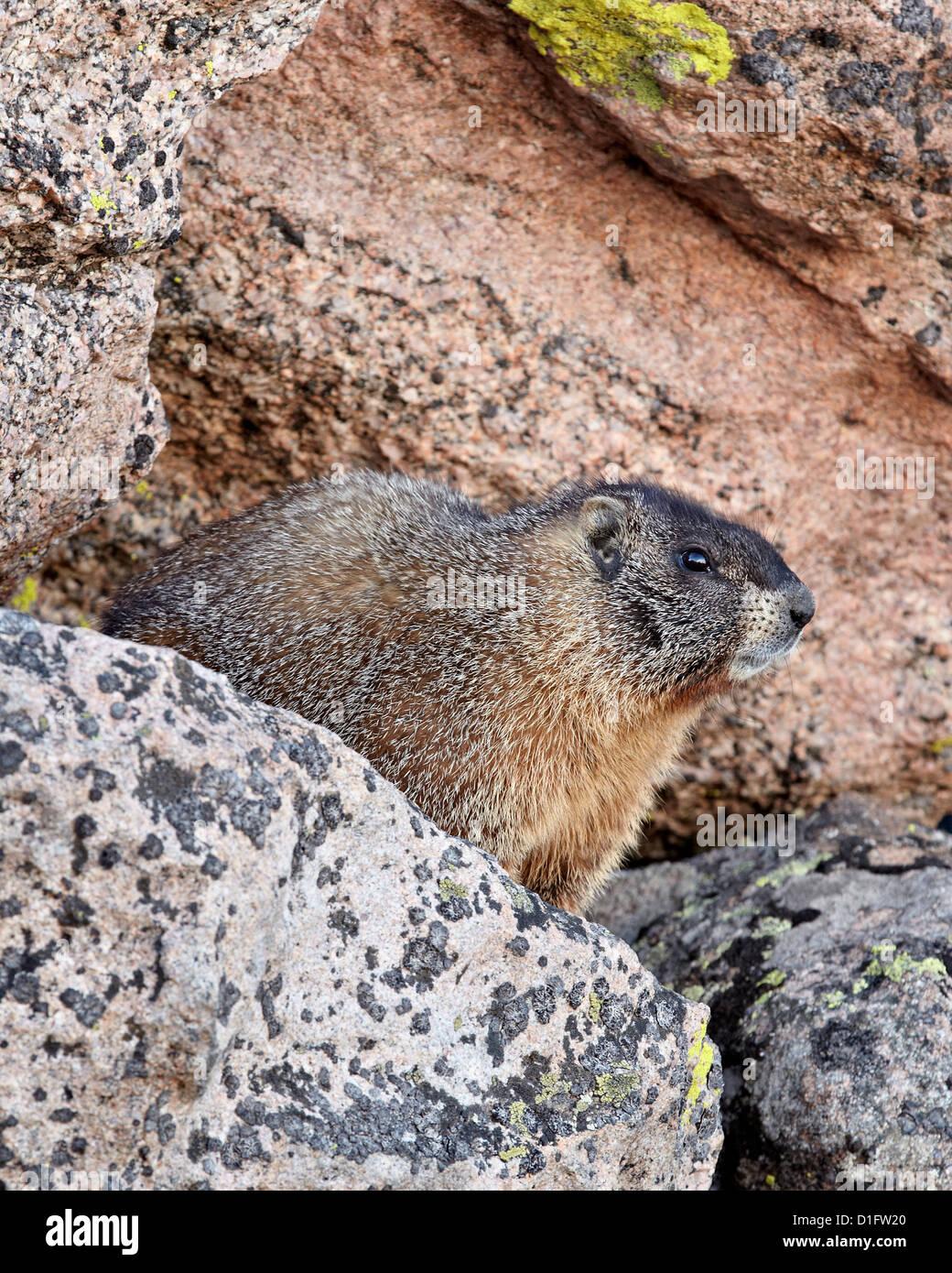 Yellow-bellied marmot (yellowbelly marmot) (Marmota flaviventris), Mount Evans, Arapaho-Roosevelt National Forest, - Stock Image