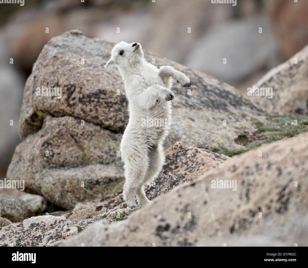 Mountain goat (Oreamnos americanus) kid jumping, Mount Evans, Arapaho-Roosevelt National Forest, Colorado, USA - Stock Image