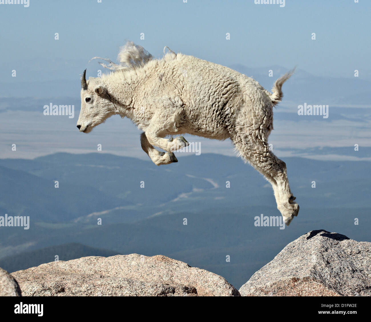 Mountain goat (Oreamnos americanus) yearling jumping, Mount Evans, Arapaho-Roosevelt National Forest, Colorado, Stock Photo