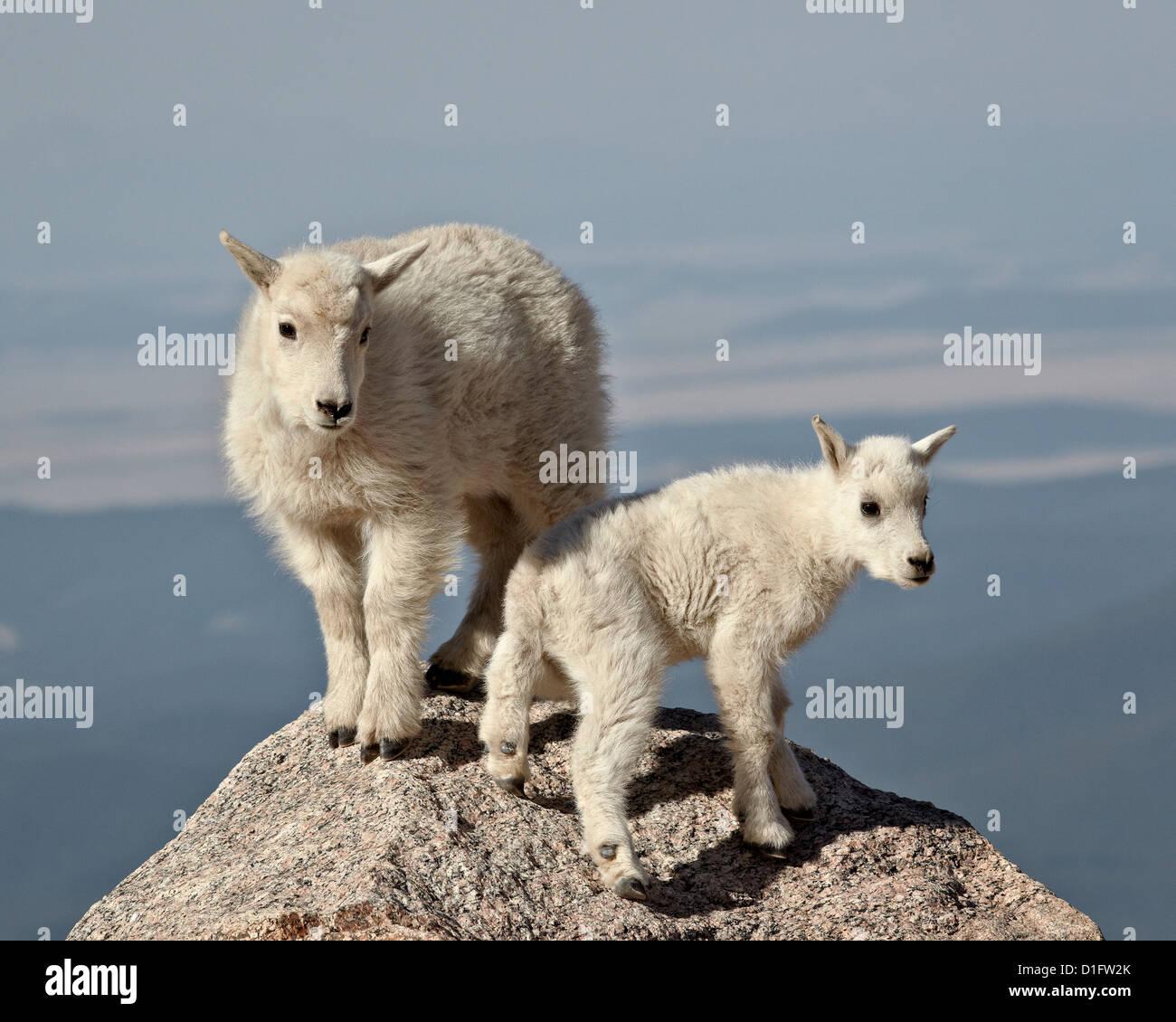 Mountain goat (Oreamnos americanus) kids, Mount Evans, Arapaho-Roosevelt National Forest, Colorado, United States - Stock Image