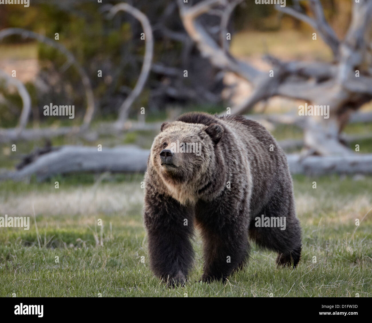 Grizzly bear (Ursus arctos horribilis) walking, Yellowstone National Park, Wyoming, United States of America, North - Stock Image