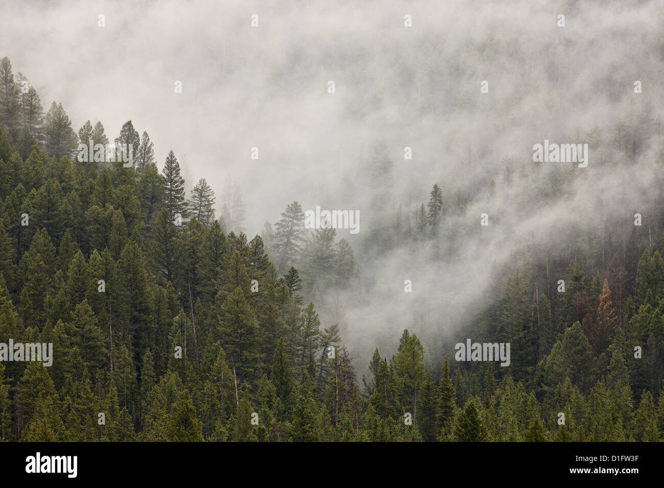 Fog among evergreens, Yellowstone National Park, UNESCO World Heritage Site, Wyoming, United States of America, - Stock Image