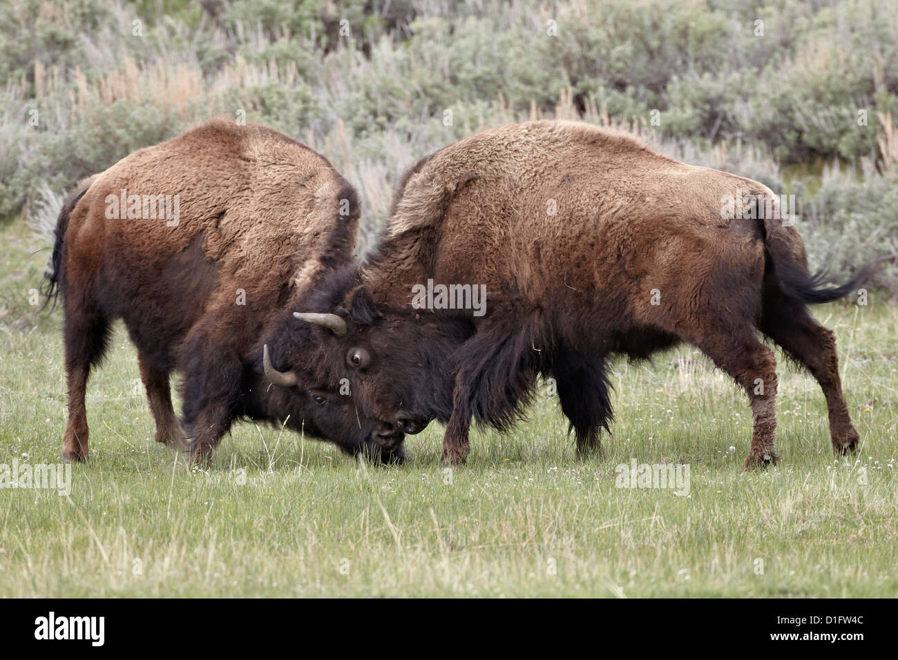 Bison (Bison bison) cows sparring, Yellowstone National Park, Wyoming, United States of America, North America - Stock Image