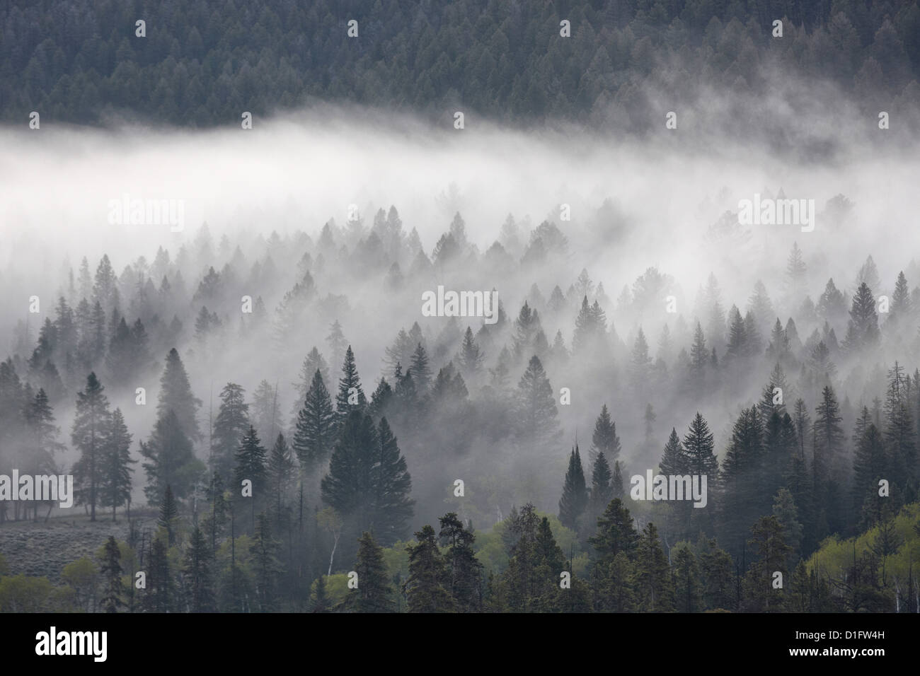 Fog mingling with evergreen trees, Yellowstone National Park, Wyoming, United States of America, North America - Stock Image