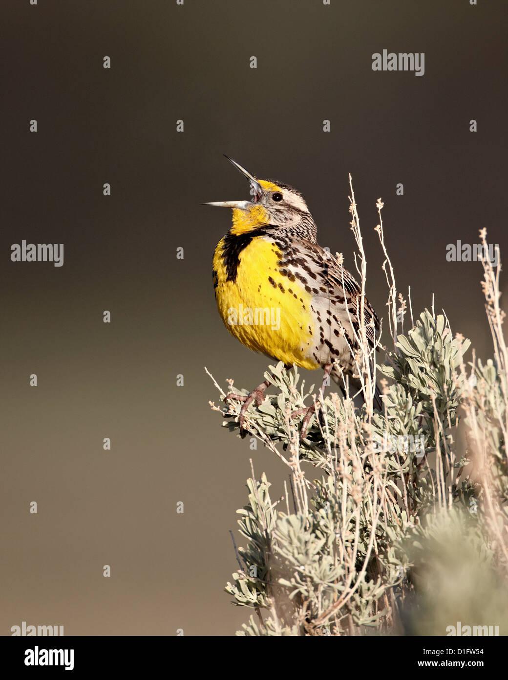 Western meadowlark (Sturnella neglecta) singing, Yellowstone National Park, Wyoming, United States of America, North Stock Photo