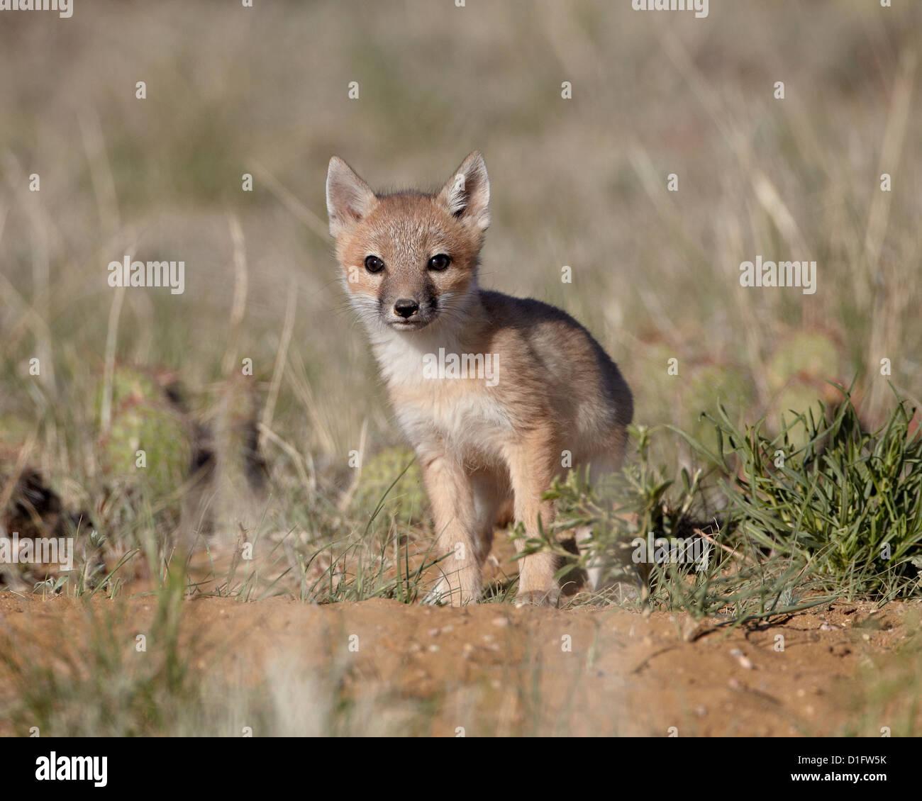 Swift fox (Vulpes velox) kit, Pawnee National Grassland, Colorado, United States of America, North America - Stock Image