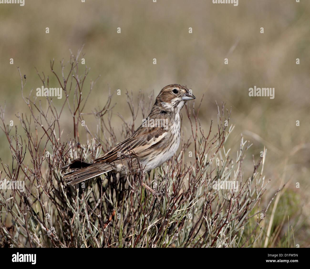 Female lark bunting (Calamospiza melanocorys), Pawnee National Grassland, Colorado, United States of America, North - Stock Image