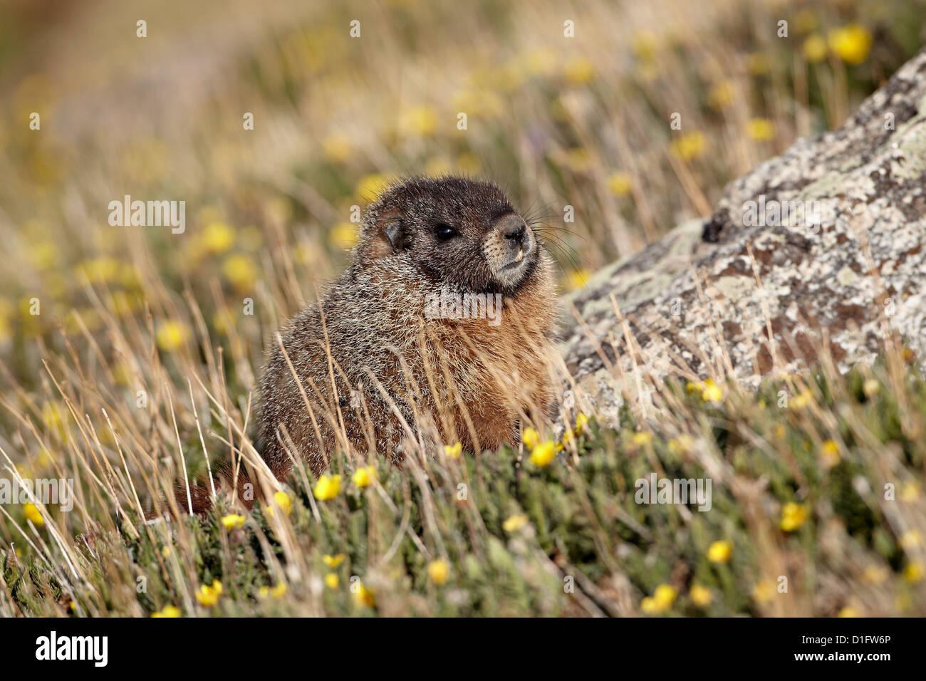 Yellow-bellied marmot (Marmota flaviventris) amid yellow dryad, Mount Evans, Arapaho-Roosevelt National Forest, - Stock Image