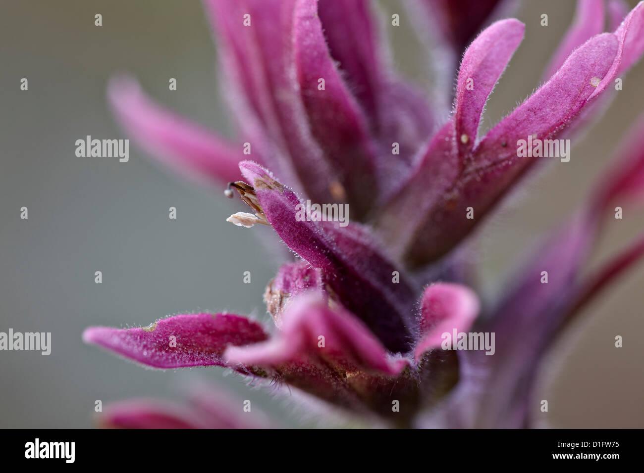 Rosy paintbrush (Castilleja rhexifolia), Gunnison National Forest, Colorado, United States of America, North America Stock Photo