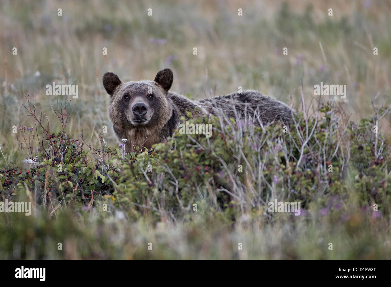 Grizzly bear (Ursus arctos horribilis), Glacier National Park, Montana, United States of America, North America Stock Photo