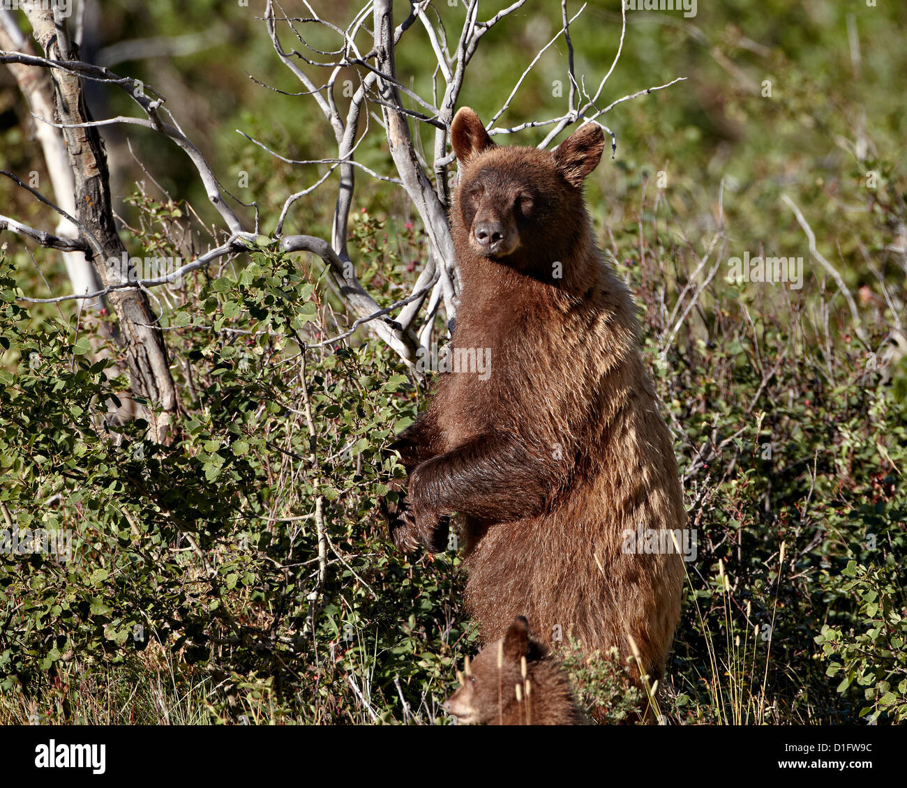 Cinnamon black bear (Ursus americanus) sow and cub of the year, Glacier National Park, Montana, United States of America Stock Photo