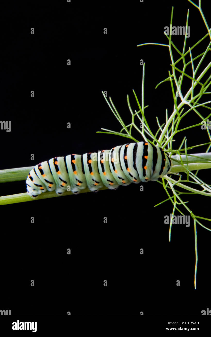 Papilio machaon larva, butterfly of the family Papilionidae, Italy, Europe - Stock Image