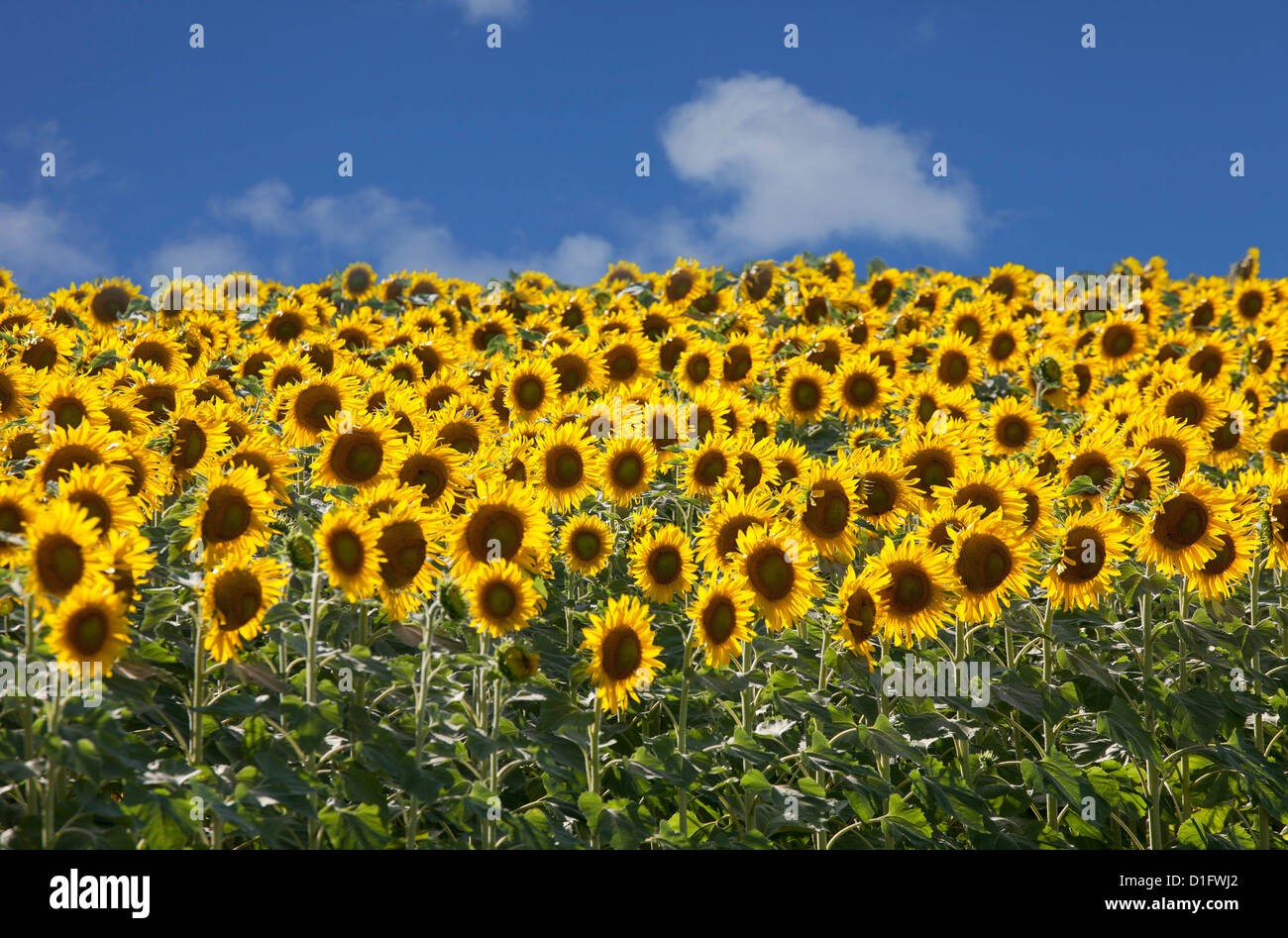 Sunflowers in Tuscany, Italy, Europe - Stock Image