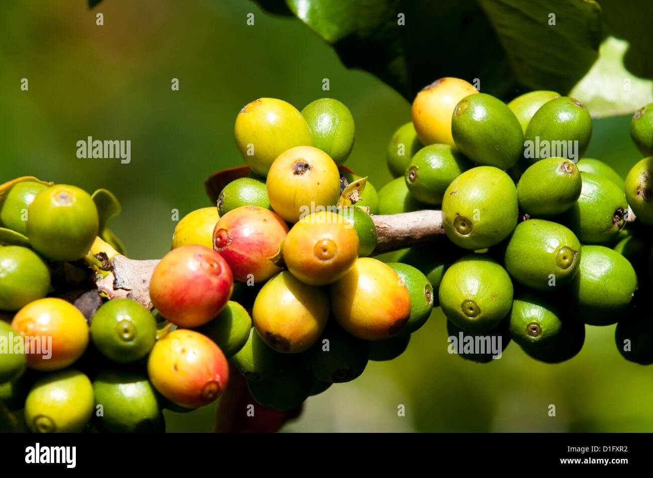 Coffee growing, Santiago Atitlan, Guatemala, Central America Stock Photo