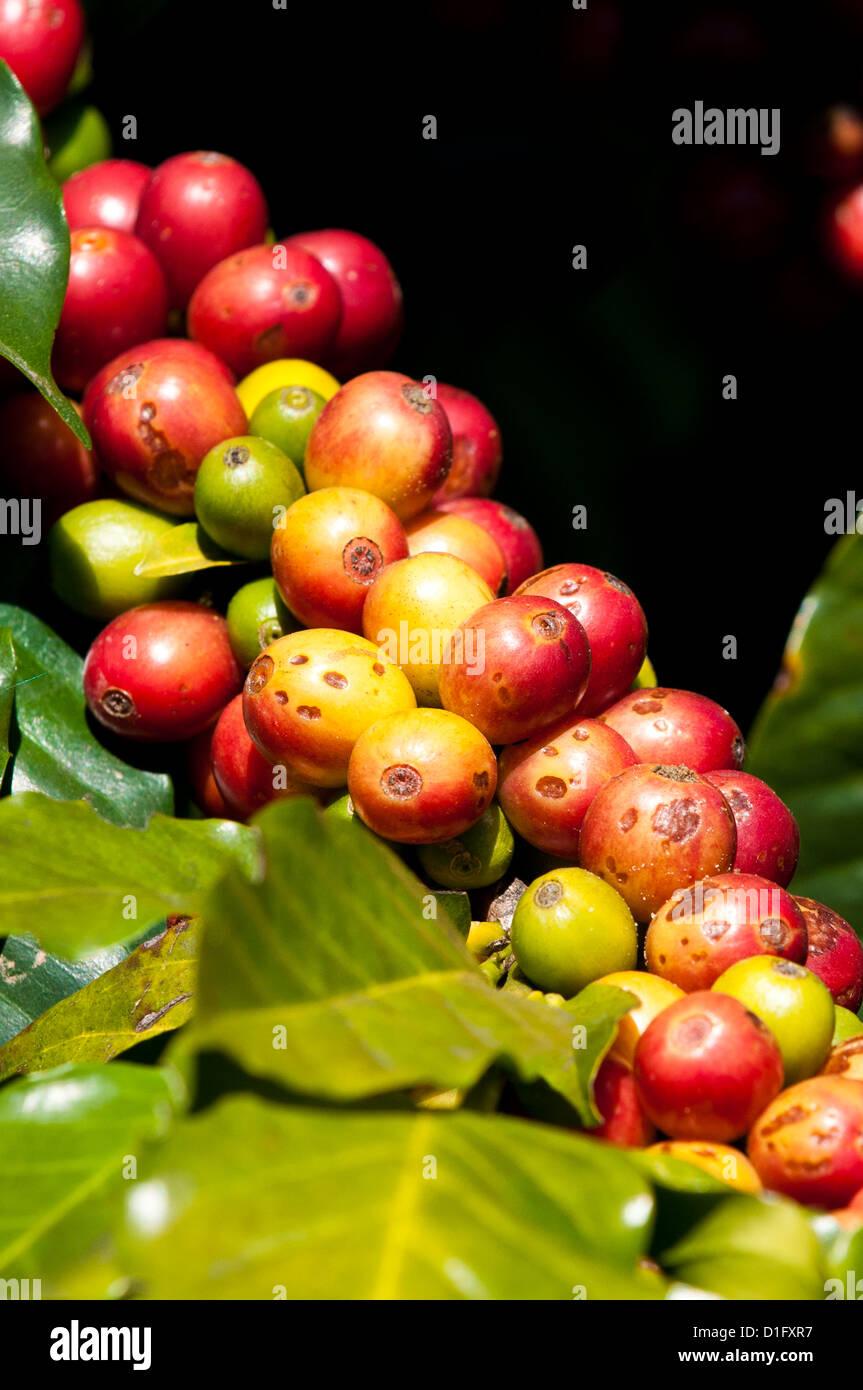 Coffee growing, Santiago Atitlan, Guatemala, Central America - Stock Image