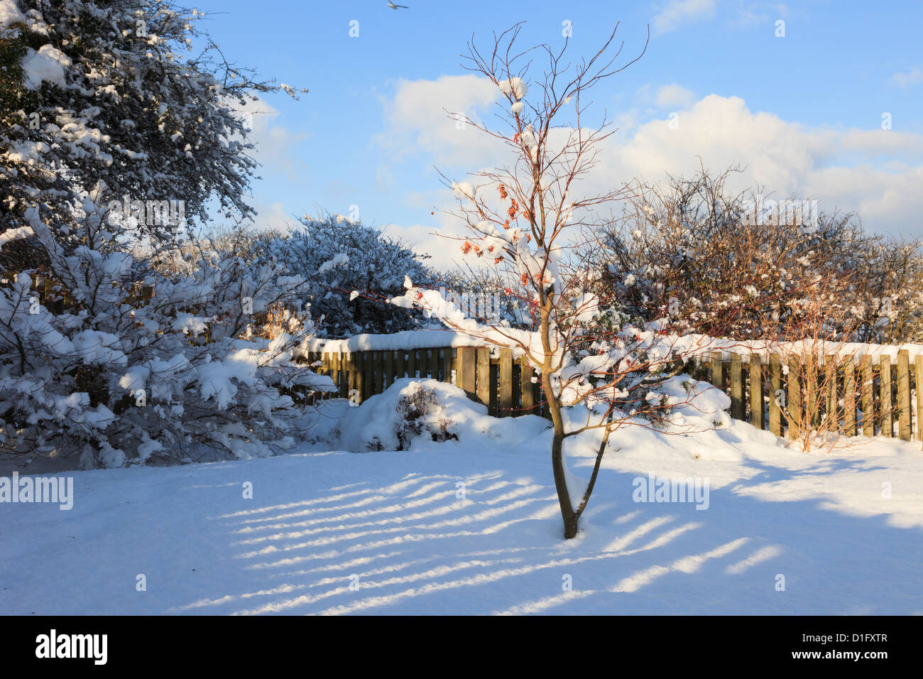 Fence shadow on snow in a back garden with Acer in winter on Anglesey North Wales UK Britain. - Stock Image